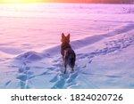 Dog Gazing  Sunset. The Dog...