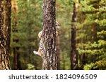 Ussuri Tiger Hidden Behind A...