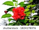 Beautiful Garden Red Hibiscus...