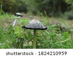 A White Ink Cap Mushroom With A ...
