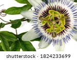Macro of passion flower  or...