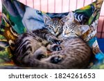 Napping Kittens Cuddle In A Cat ...