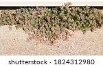 Trifolium Arvense  Known As...