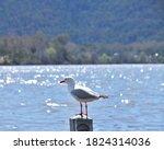Gulls  Or Colloquially Seagull...