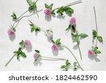 Pink Clover. Clover Flowers On...