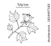 american tuliptree  or tulip... | Shutterstock .eps vector #1824497183