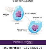 b cell to plasma cell... | Shutterstock .eps vector #1824503906