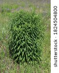 Small photo of Solidago canadensis (Canada goldenrod, Canadian goldenrod, Common goldenrod) on a fields in the wild.