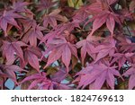 Japanese Maple Leaf Background...