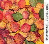 multicolored aspen fall leaves. ... | Shutterstock . vector #1824801083