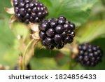Ripened In September Berry ...