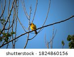 Southern Masked Weaver Male...