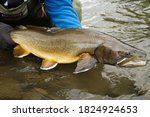 Threatened adult Bull Trout about to be released back into its native waters in the Rocky Mountain region of Alberta