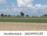 onion crop field in mexico