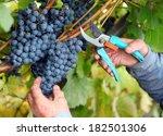 Grapes Harvest In Vineyard