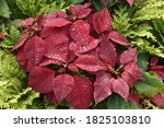 Beautiful Red Poinsettias With...