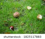 Conkers Fallen From A Tree In...