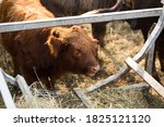 Red Scottish Young Bull With...