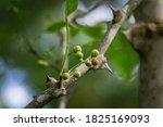 Green Berries Of Zanthoxylum...