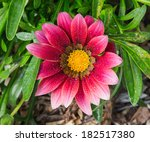 Pink And Yellow Daisy With...