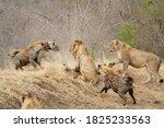 Spotted hyenas  crocuta crocuta ...