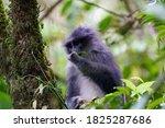 Javan Surili  Javan Leaf Monkey ...