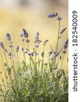 Lavender Flowers Floral...