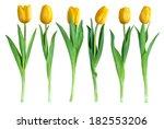 Studio Shot Of Tulips Isolated...