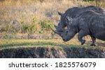 Two White Rhino  Ceratotherium...