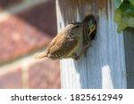 Wren  Troglodytes . Parent Bird ...
