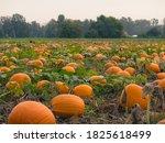 A Beautiful Pumpkin Patch In...