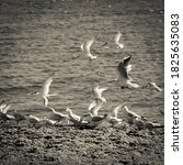 Gull And Tern Flock  Patagonia  ...