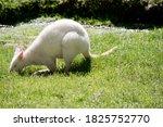 The Albino Kangaroo Is White...