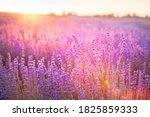 blooming violet lavender field...   Shutterstock . vector #1825859333