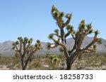 Joshua Trees In Mojave Desert ...