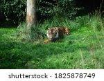 Close Up Of A Sumatran Tiger ...