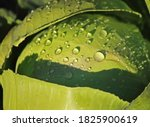 Water Droplets On A Cabbage...