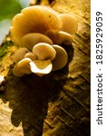 Oyster Mushroom  Latin ...