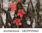 Autumn Red Boston Ivy Leaves On ...