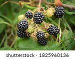Wild Blackberries On The Branch....
