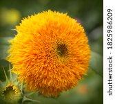 "Sunflower ""teddy Bear"" Blossom..."