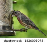 Molting Male House Finch At A...