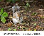 Grey Squirrel  Sciurus...