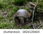 Blusher Fungus  Amanita...