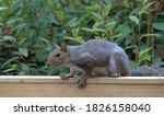 Gray Squirrel On Garden Fence