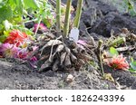 Dahlia Flower Roots Without...