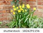 Yellow Dwarf Daffodils ...