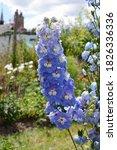 Light Blue Delphinium Flowers...
