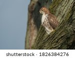 A Juvenile Red Tailed Hawk Is...