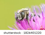 Large Bee Sitting On A...